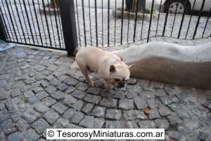 Bulldog Francés Macho 01