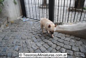 Bulldog Francés Macho 05