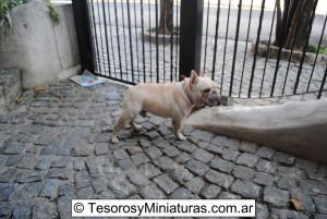 Bulldog Francés Macho 06