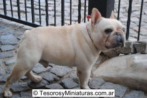 Bulldog Francés Macho Gran Campeón