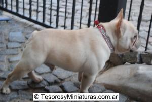 Bulldog Francés Macho 08