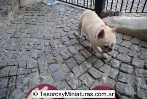 Bulldog Francés Macho 11