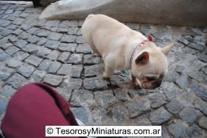 Bulldog Francés Macho 12