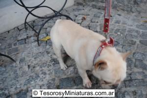 Bulldog Francés Macho 13