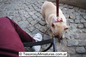 Bulldog Francés Macho 14