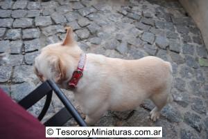 Bulldog Francés Macho 15