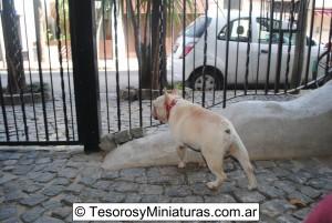 Bulldog Francés Macho 16