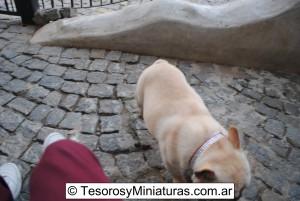 Bulldog Francés Macho 18