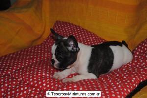 Bulldog Francés Vaquita Macho