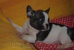 Bulldog Vaquita Macho