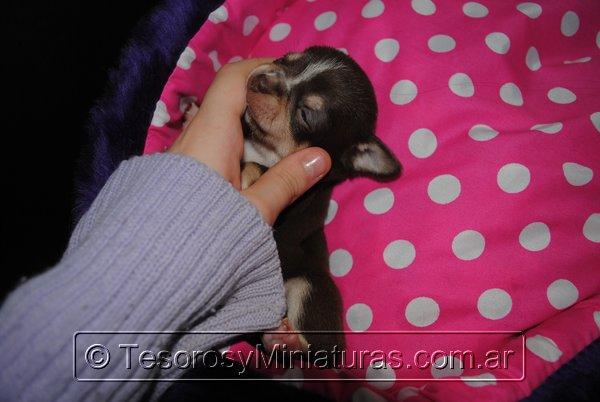 Chihuahua Hembra Marron 15