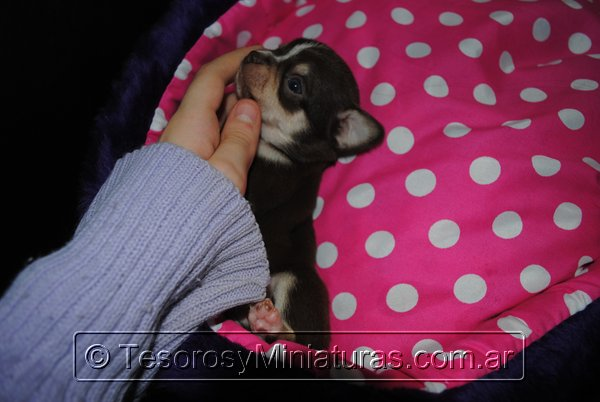 Chihuahua Hembra Marron 16