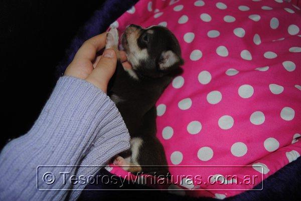 Chihuahua Hembra Marron 19