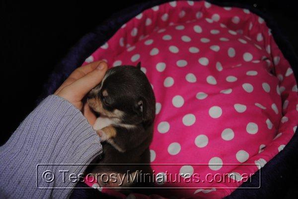 Chihuahua Hembra Marron 20