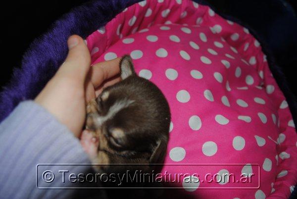 Chihuahua Hembra Marron 21