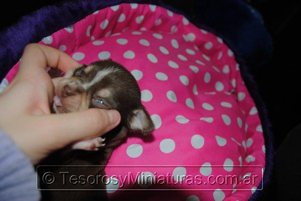 Chihuahua Hembra Marron 22