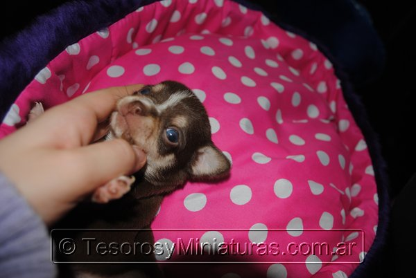 Chihuahua Hembra Marron 23