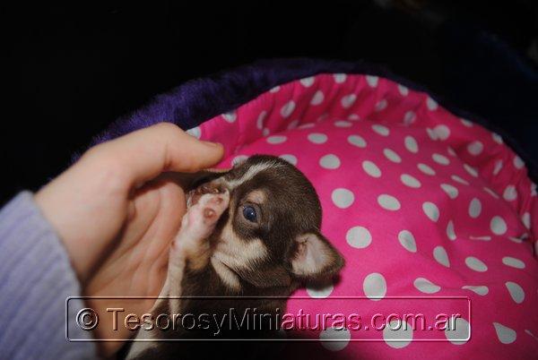 Chihuahua Hembra Marron 24