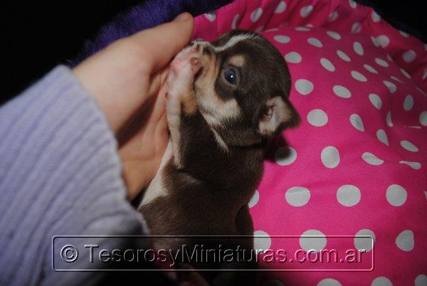 Chihuahua Hembra Marron 26