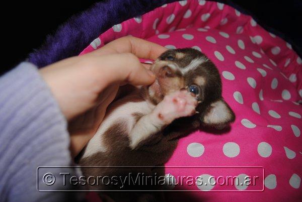 Chihuahua Hembra Marron 27