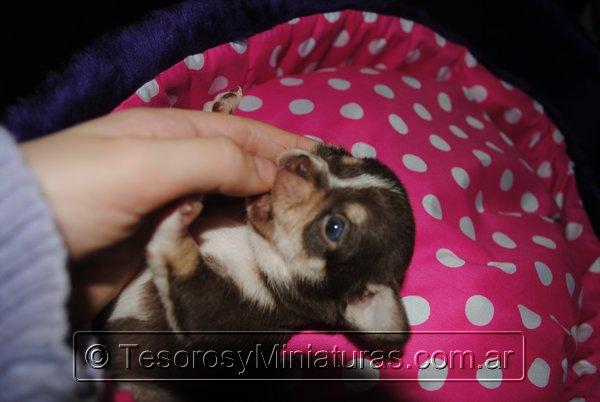 Chihuahua Hembra Marron 28