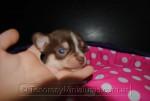 Chihuahua Hembra Marron