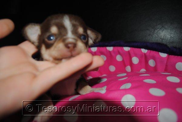 Chihuahua Hembra Marron 32