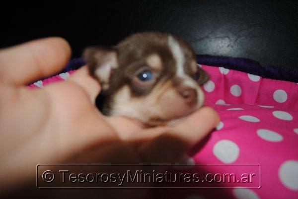 Chihuahua Hembra Marron 33