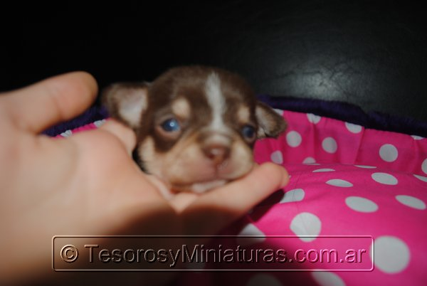 Chihuahua Hembra Marron 34