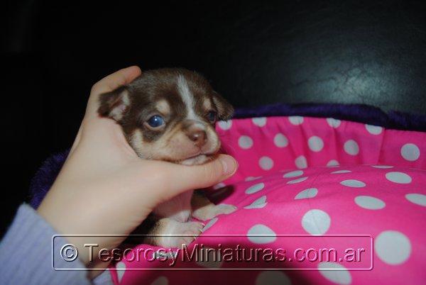 Chihuahua Hembra Marron 35