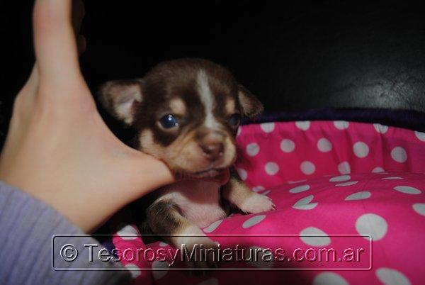 Chihuahua Hembra Marron 36