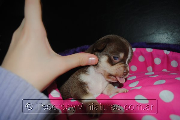 Chihuahua Hembra Marron 37