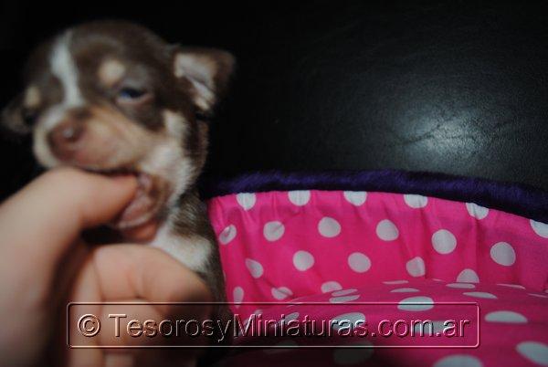 Chihuahua Hembra Marron 38