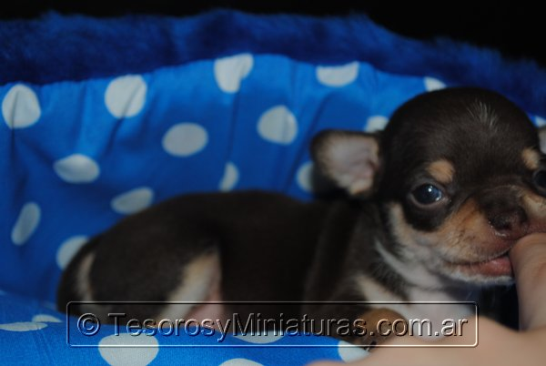 Chihuahua Macho Marron 02