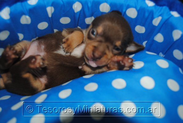 Chihuahua Macho Marron 37