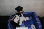 Chihuahua Macho Negro 04