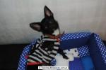 Chihuahua Macho Negro 06