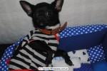 Chihuahua Macho Negro 07