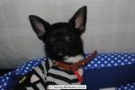Chihuahua Macho Negro