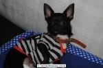 Chihuahua Macho Negro 09
