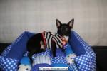 Chihuahua Macho Negro 10