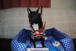 Chihuahua Macho Negro 11