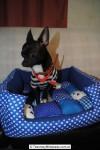 Chihuahua Macho Negro 15