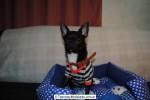 Chihuahua Macho Negro 16