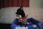 Chihuahua Macho Negro 17
