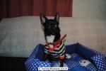 Chihuahua Macho Negro 18