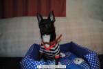 Chihuahua Macho Negro 19
