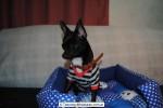 Chihuahua Macho Negro 20