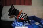 Chihuahua Macho Negro 21