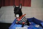 Chihuahua Macho Negro 22